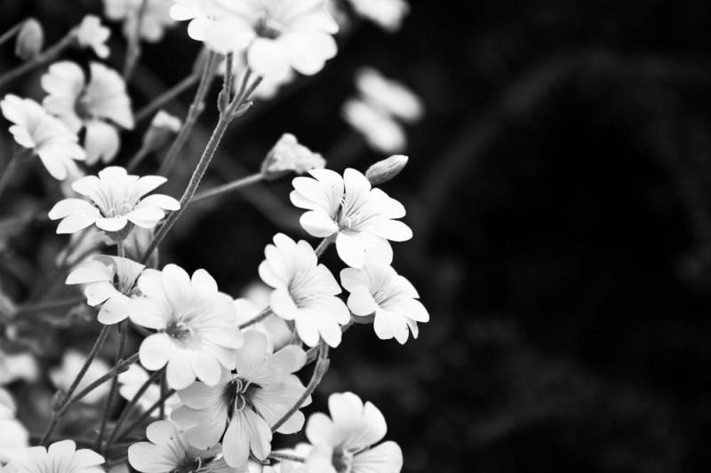 Blumen in schwarz/weiß