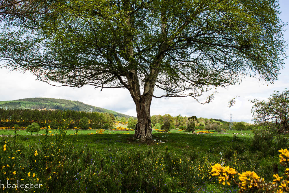 Tree Caledonian Canal